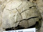 Phát hiện trứng khủng long hóa thạch có phôi bên trong