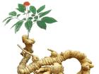 Quảng Nam: Sâm Ngọc Linh trở thành sản phẩm quốc gia