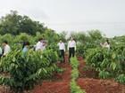 Các tỉnh Tây Nguyên tái canh 19.000 ha cà phê.