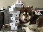 Mua liền 8 chiếc iPhone 7 tặng...chó cưng