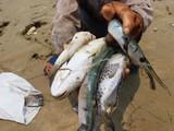 Hội nghề cá phủ nhận nguyên nhân cá chết do tảo độc