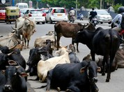 Ấn Độ: 88 triệu trâu bò có số định danh như con người