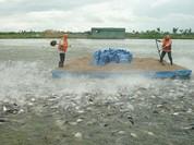 Vụ cấp khống lưu hành 808 sản phẩm thức ăn thủy sản: bắt tạm giam 3 đối tượng