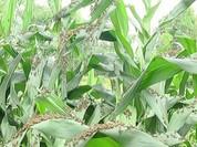 """""""Bão"""" châu chấu càn quét Sơn La, nông nghiệp thiệt hại nặng"""