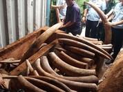 Sẽ khởi tố vụ buôn lậu ngà voi châu Phi qua cảng Cát Lái?