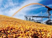 Tạm ngừng nhập khẩu bột bã ngô từ Hoa Kỳ