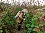 Hà Nội: Chỉ 5% rau an toàn vào siêu thị!