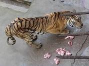 Vườn thú để hổ chết đói, bán rượu ngâm xương
