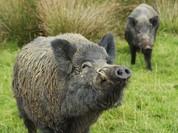 Lợn rừng đột biến 'đổ bộ' Fukushima