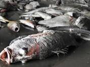 Lập Hội đồng KH&CN cấp quốc gia tìm nguyên nhân cá chết