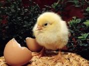 """Một con gà """"cõng"""" 14 loại phí: Bộ Nông nghiệp đề xuất """"giải cứu"""""""