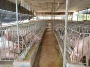 Hàng triệu hộ chăn nuôi có thể bị xóa sổ?