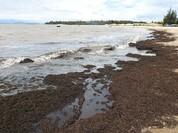 Quảng Bình: Rong biển chết dạt bờ dài hàng trăm mét
