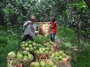 Chạy theo xuất khẩu trái cây, nhà vườn kiệt quệ