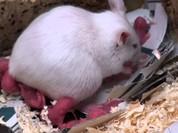 Bệnh ung thư xuất hiện ở chuột do bức xạ từ điện thoại di động