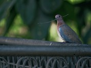 150 con chim bồ câu bị nghi là gián điệp ở Ấn Độ