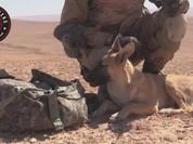 """Chó chiến binh phục vụ đặc nhiệm """"Săn IS"""" (video)"""