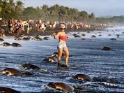 Kỳ thú hàng trăm ngàn con rùa biển lớn ùa vào bờ