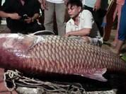Cá hô khủng giá hàng trăm triệu ở miền tây Nam Bộ