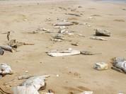 Cá chết khiến Quảng Bình thiệt hại ước tính 4.000 tỉ đồng