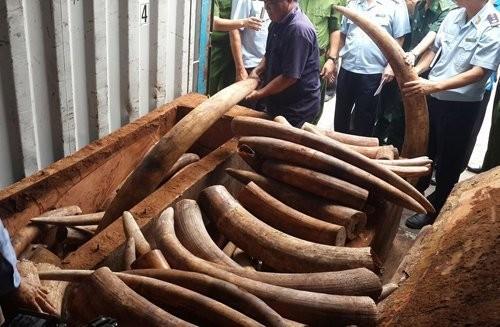 Ngà voi nhập lậu do Hải quan TP.HCM bắt giữ có xuất xử từ châu Phi- (Ảnh minh họa).