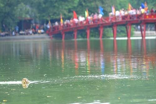 """Đưa xác """"cụ rùa"""" Hồ Gươm vào đền Ngọc Sơn"""