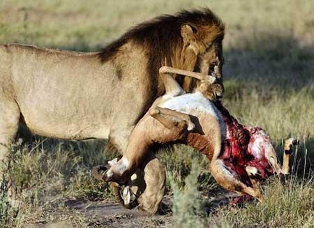 Video: Những pha săn mồi kinh điển của sư tử