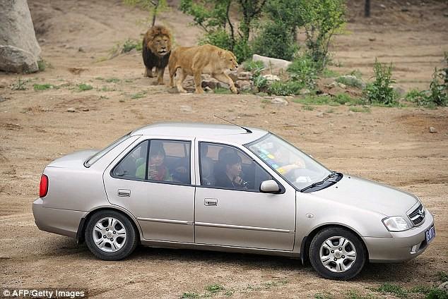 Công viên Badaling Wildlife World rộng khoảng 2.400 ha, cho phép du khách tự lái xe tham quan. Tuy nhiên, họ cảnh báo du khách không được rời xe trong bất cứ tình huống nào.