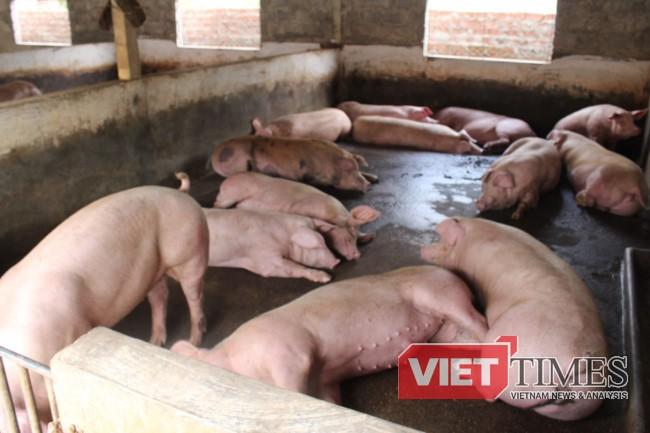 Nhiều người đang cùng quẫn...vì lợn