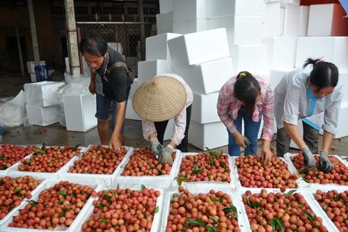 Giá vải thiều tại Hải Dương đang được doanh nghiệp thu mua cao hơn 10% so với tiểu thương Trung Quốc.