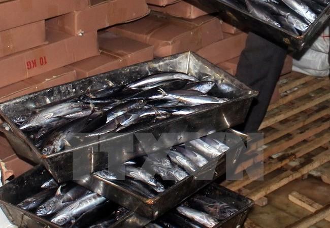 Cá nục bị nhiễm phenol trong kho lạnh của bà Lê Thị Thuộc, Thị trấn Cửa Tùng, Quảng Trị. (Ảnh: Thanh Thủy/TTXVN)