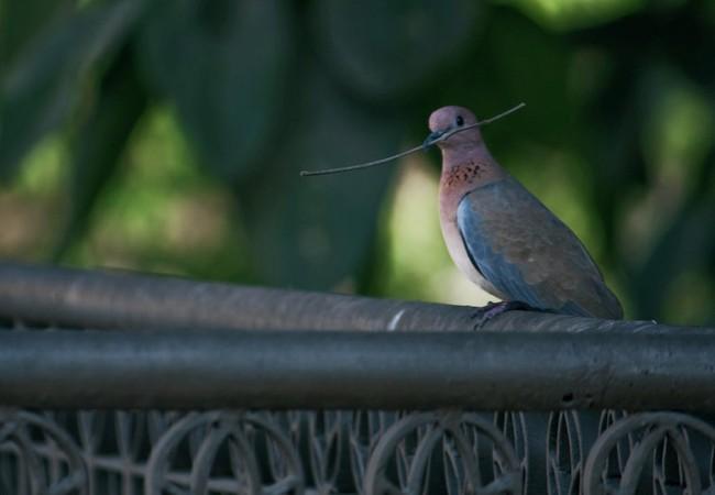 150 con chim bồ câu bị nghi là gián điệp ở Ấn Độ (ảnh minh họa)
