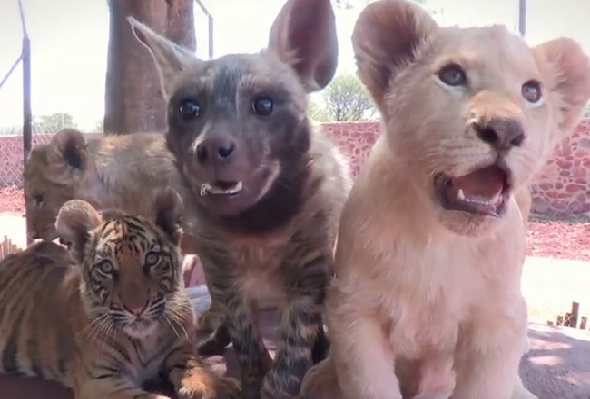 Tình bạn kỳ thú của những động vật khác loài