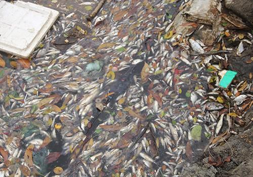 Cá chết trắng trên bãi biển gây hoang mang dư luận